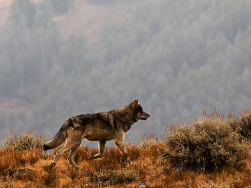 grey wolf - photo credit Paul Allen
